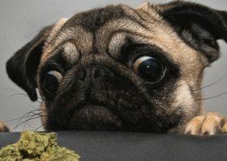 Marijuana and your pets