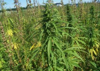 Albright College Awarded Industrial Hemp Research Permit – bctv.org