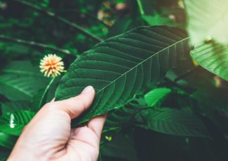 Is kratom safe? Risks and effects – Medical News Today