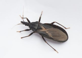 Delaware girl bit by dangerous, blood-sucking 'kissing bug,' CDC confirms – New York Daily News