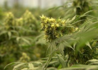 Missouri medical marijuana application forms, instructions available June 4 – KFVS