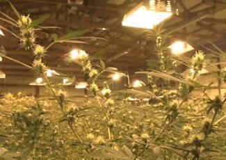 Calls for regulation jump as hemp-infused product use soars – CGTN America