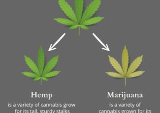 Cannabis Oil is Not What You Think – Hemp Oil vs Cannabis Oil