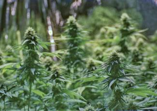 Five Applicants Pre-File As Medical Marijuana Facilities In Cape Girardeau, Over 550 Statewide – KRCU