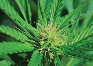 The green rush for high-quality CBD products – Health Europa
