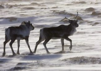 Tradition versus technology: Northerners debate use of drones in caribou hunting – Yahoo News