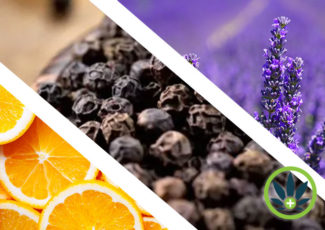 What are Terpenes? Ultimate Health Guide to Cannabis Terpene Oils – HealthMJ