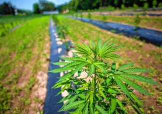 With the hemp harvest weeks away, profits are anyone's guess – Valley News