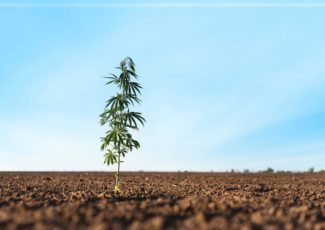 A budding crop: Growing cannabis is labor-intensive, expensive to start, but doable – Champaign/Urbana News-Gazette