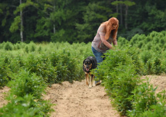 First legal hemp crop growing well, near harvest, farmers report – AL.com