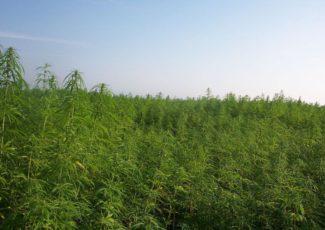 Understanding Texas' new hemp laws | News | corsicanadailysun.com – Corsicana Daily Sun