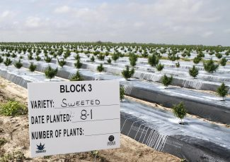 Polk farm trades citrus for hemp in state pilot project – The Ledger