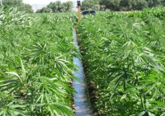 US: Hemp Farmers Produce 8x the Consumable CBD, Making Prices Crash – Cannabis Herald