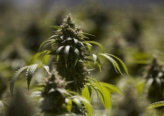 Marijuana 101: A Q-and-A for those who've never inhaled – Tulsa World