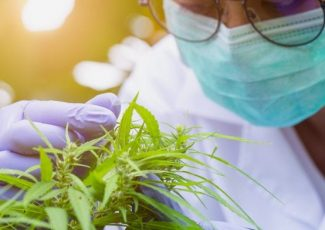 STERO Biotechs: the past, present and future of medicinal cannabis – Health Europa