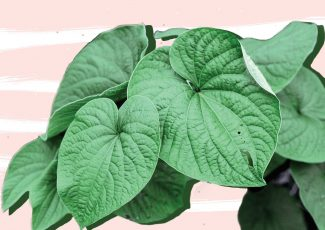 What Is Kava, Is Kava Safe, and Can Kava Help with Anxiety? – Shape Magazine
