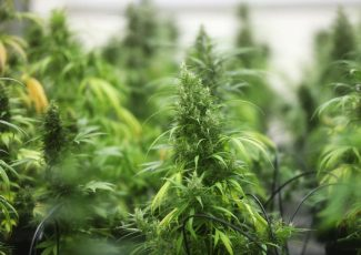 Cannabis confusion pushes states to ban smokable hemp – PostBulletin.com