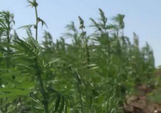 Montana AG: Hemp is growing across the state – KPAX-TV