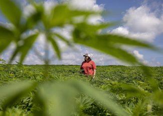 Ohio pursuing hemp as new cash crop – Canton Repository