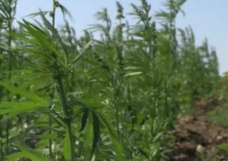 Pilot program for hemp crop insurance coming to Montana – KRTV Great Falls News