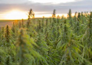 US: South Carolina warns producers to stop hemp, CBD use in feed, animal products – FeedNavigator.com