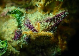 Which Is the Most Potent, Strongest Weed on the Planet? – LoudCloudHealth